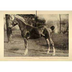 1906 Article How To Buy Champion Horses Equestrian Equine King George