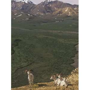 Dall Sheep (Ovis Dalli) Near Polychrome Pass, Denali