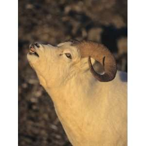 A Pre Rutting Dall Sheep Ram (Ovis Dalli), Alaska, USA