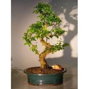 Boys Flowering Ligustrum Bonsai Tree   Extra Large ligustrum lucidum