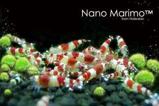 Nano Marimo Ball x 5 Live Aquarium Plant Fish Tank INV