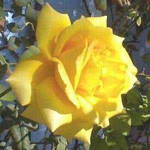 Royal Gold Rose   #3 container Patio, Lawn & Garden