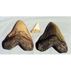 Shark Tooth Replica White Caracharadon Megalodon 53 in